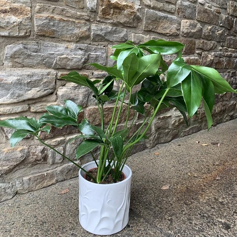 """8"""" Philodendron Goeldii"""