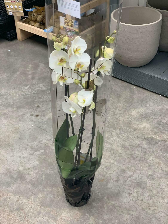 2 taks orchidee als geschenk bij een ontbijtmand