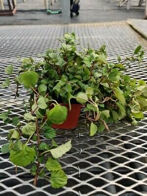 Swedish Ivy