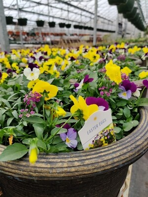 Easter Eggs Pansy Mix 12