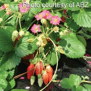 Strawberry Berri Basket Hot Pink