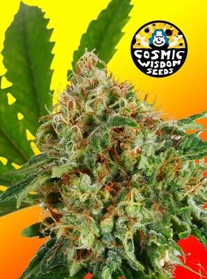 Cosmic Afghani - 11 Regular Seeds - Cosmic Wisdom