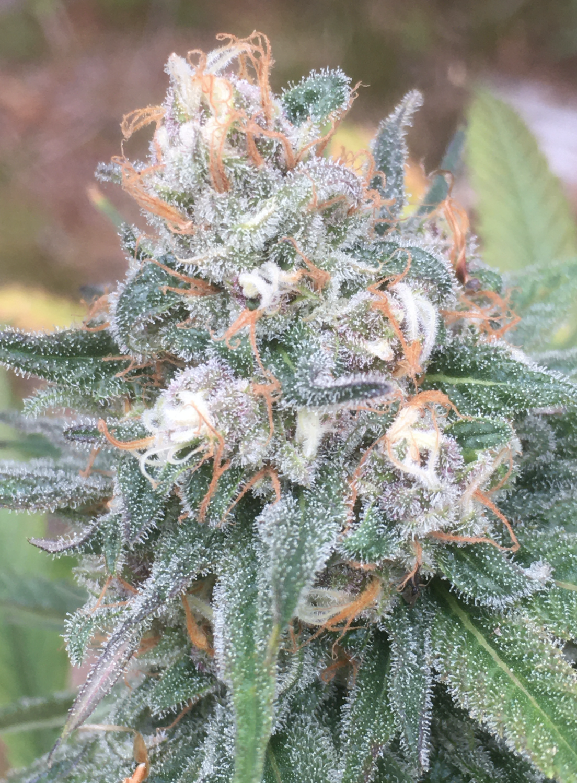 Blue Dream Bx - 6 Regular Seeds - Annunaki Genetics