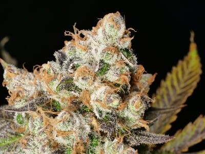 Anaphylaxis - 7 Feminized Seeds - Mass Medical Strains