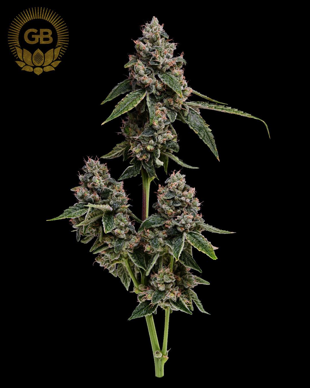 Kosher Kush x Sour 78 - 21 Regular Seeds - Green Bodhi