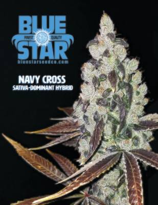 Navy Cross - 13 Regular Seeds - Blue Star (Includes Free 5pk Blue Grease Inside!)