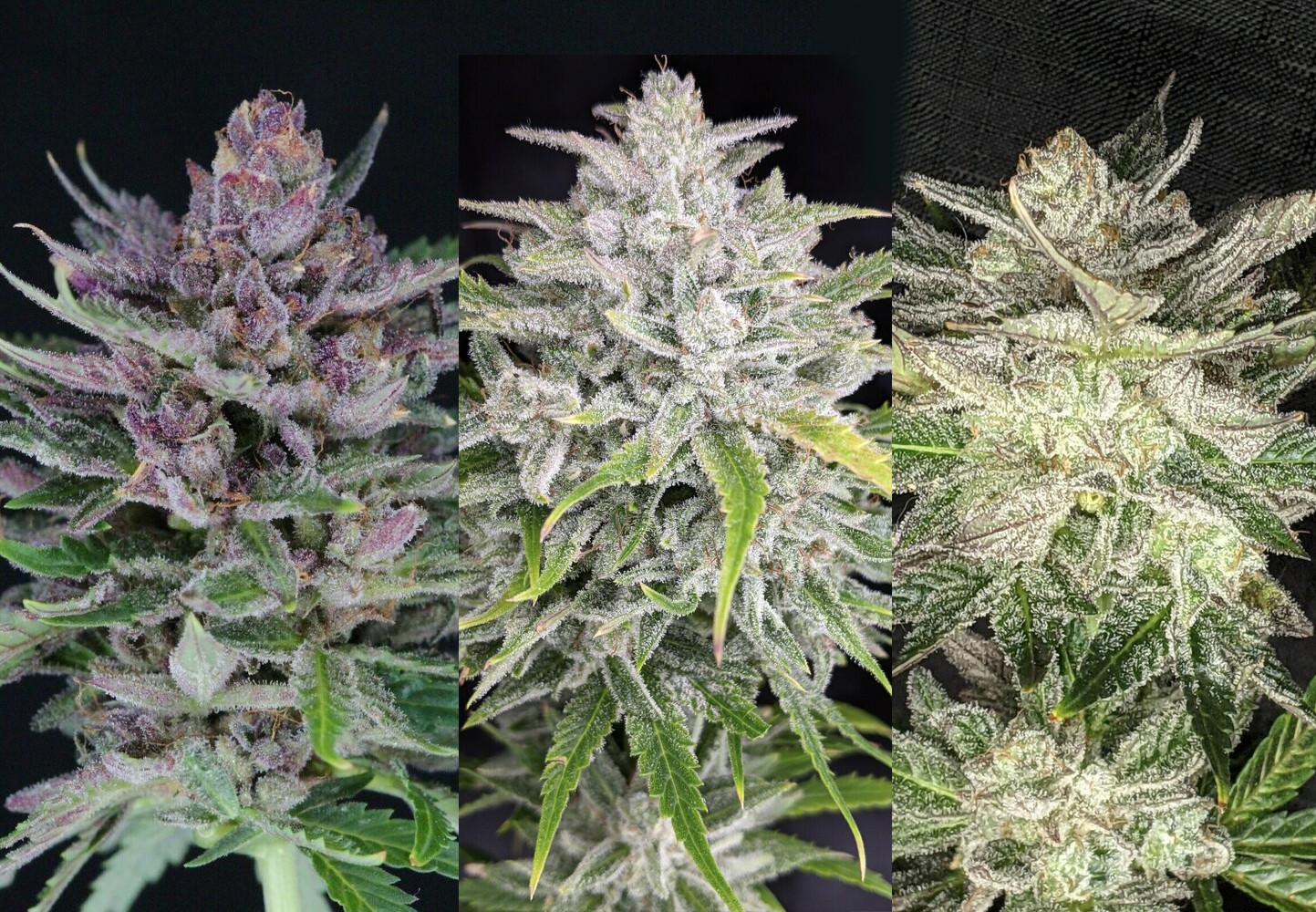 Auto Flower Variety Pack - 3 Strains - Durban Sunrise - Triks - Vidamints - 9 Auto Fem Seeds (3 Seeds Each) - Twenty20 Mendocino