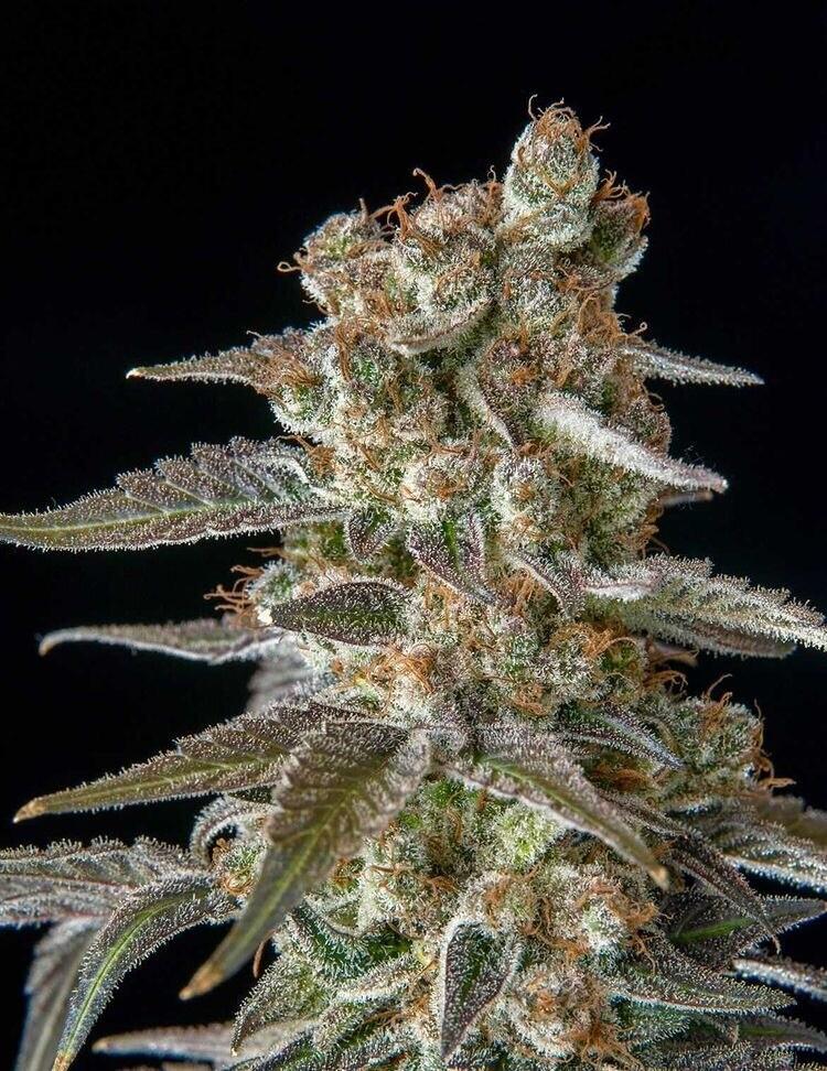 Old Smuggler - 7 Feminized Seeds - Plus Valedictorian 5x Regular Freebie - Mass Medical Strains