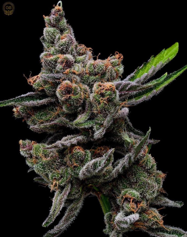 Sail Haten (Mass Medical Collaboration) - 13 Feminized Seeds - Plus 3pk Golden PuTang Feminized Freebie - Green Bodhi