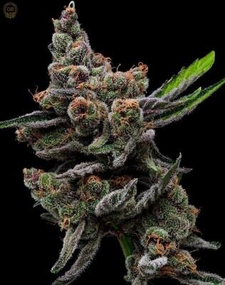 Sail Haten (Mass Medical Collaboration) - 13 Feminized Seeds - Green Bodhi