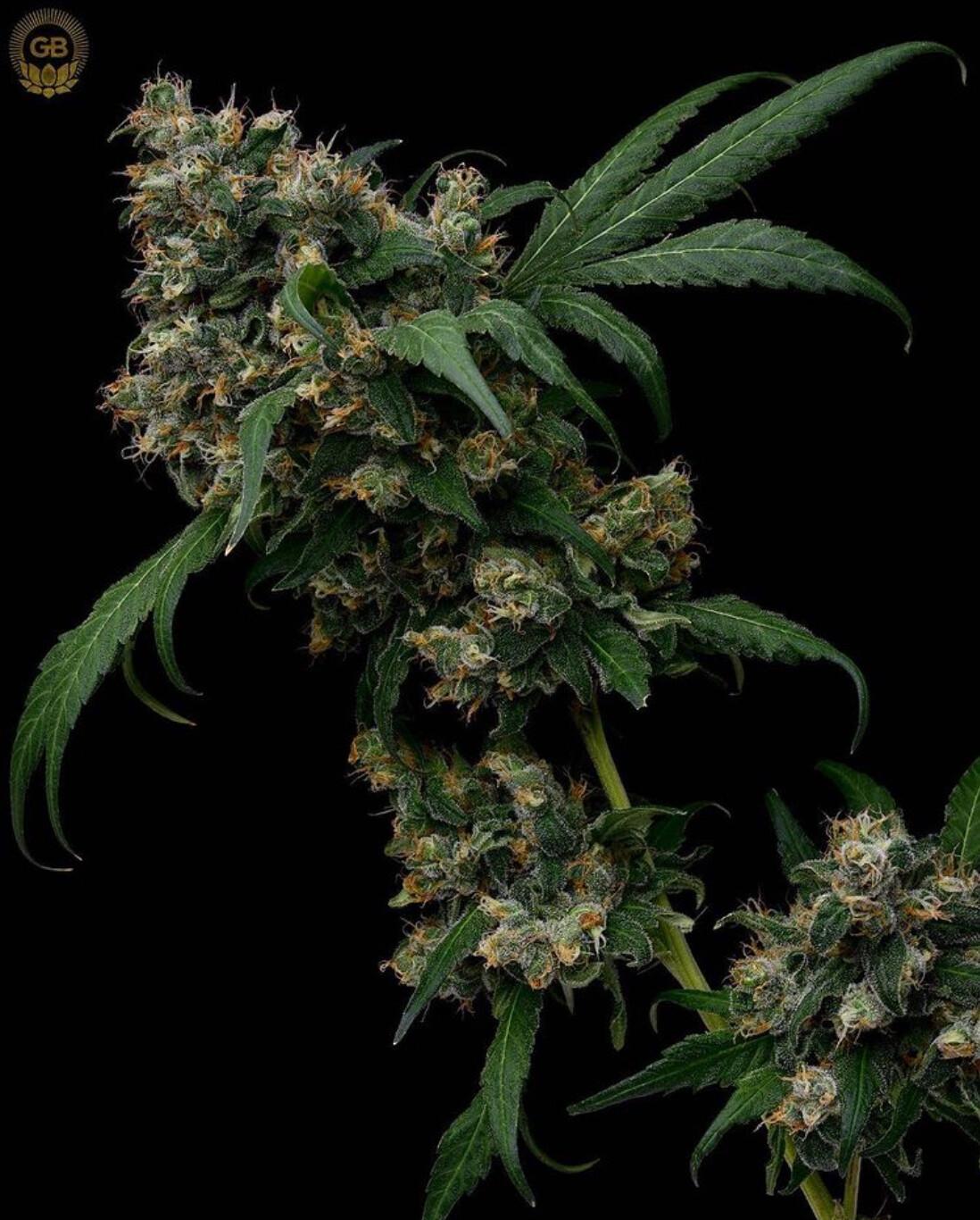 Hazy Kush Feminized - 11 Feminized Seeds - Green Bodhi
