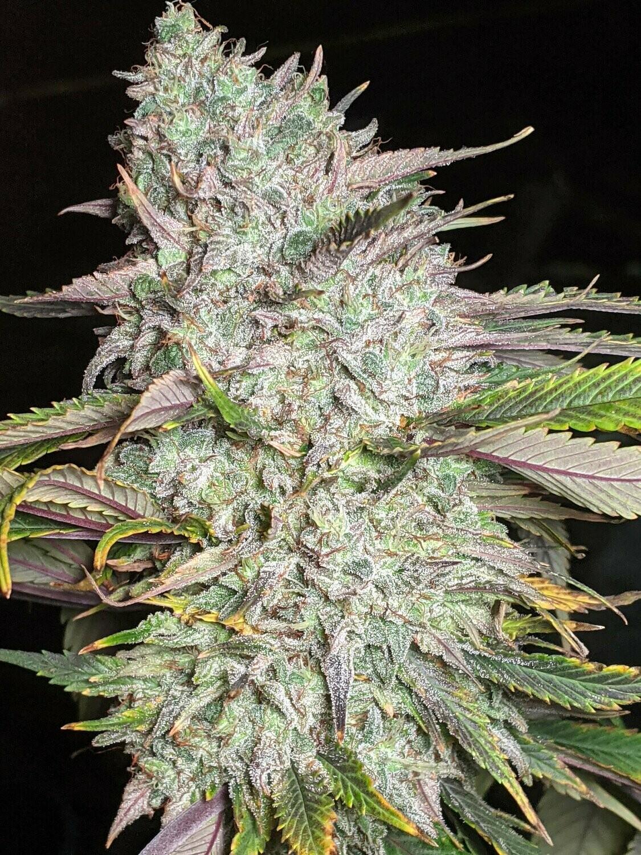 Trizkits - 6 Auto Fem Seeds - Twenty20 Mendocino