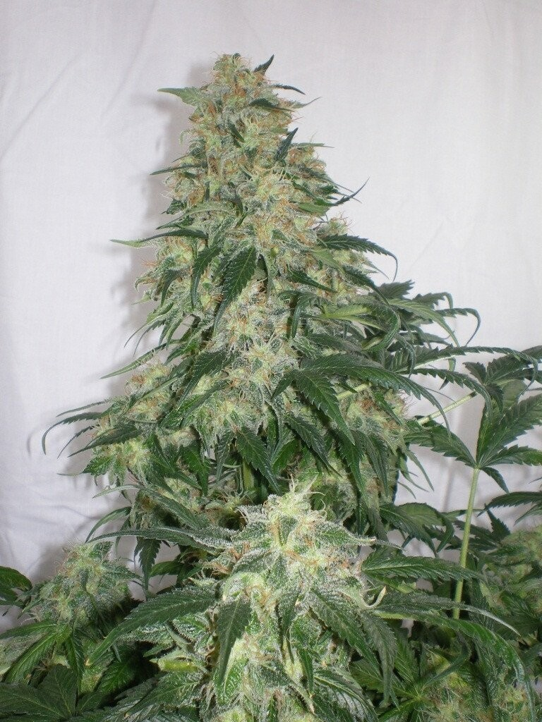 Blue Amnesia Haze - 12 Regular Seeds - Jordan of the Islands
