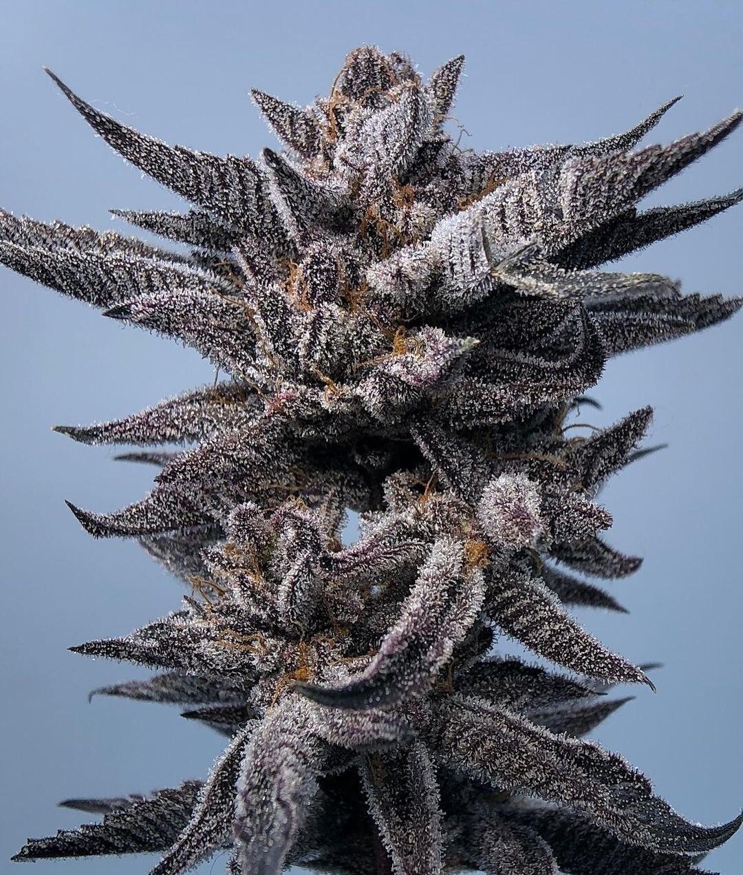 Dosi Dos Stomper - 12 Regular Seeds - Sunken Treasure - Plus Freebie 10 Seeds GCP (gg4 x cookie x purp)