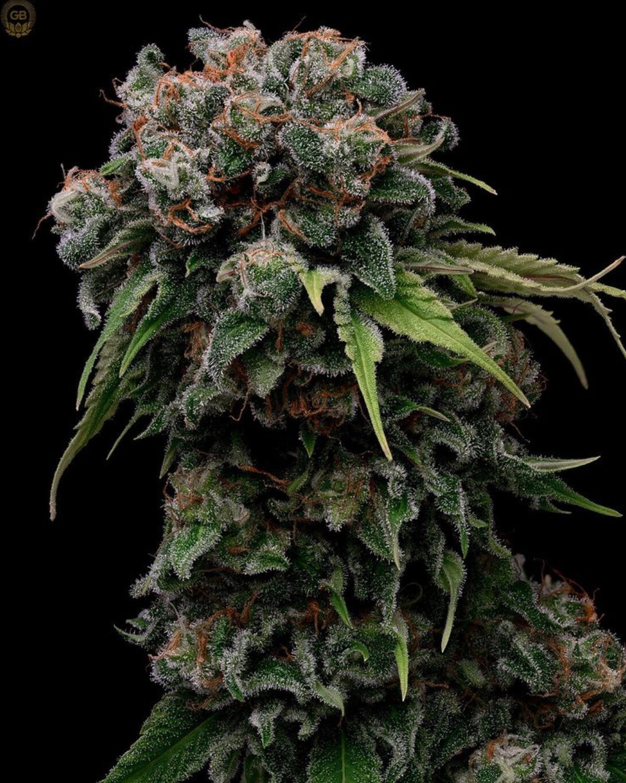 Orange Crush x Hazy Kush Feminized - 11 Feminized Seeds - Green Bodhi