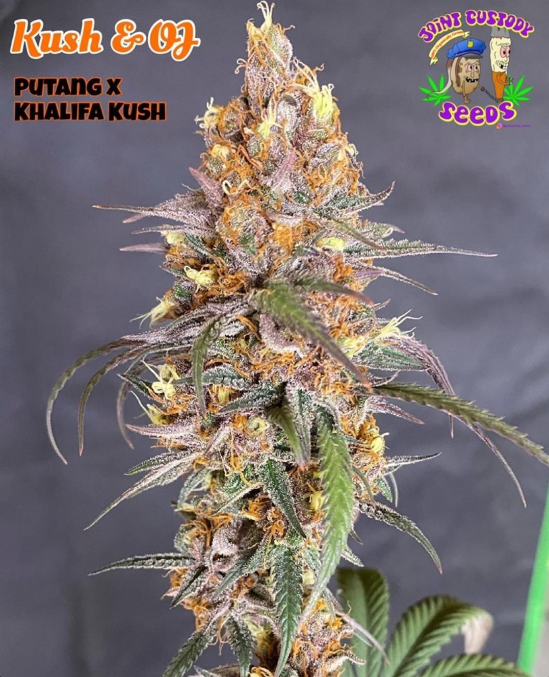 Kush & OJ - 12 Regular Seeds - Joint Custody Seed Co