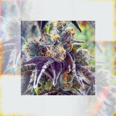 Cherry Pie Kush Breath - 7 Regular Seeds - Gage Green Group (PREORDER)