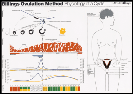 Physiology of a Cycle A4 Download