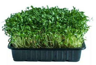 Микрозелень кинза