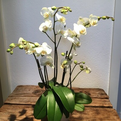 Phalaenopsis Orchidee weiss mit Übertopf