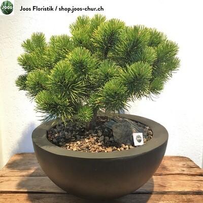 """Pinus mugo """"March""""- fast ein Bonsai!"""