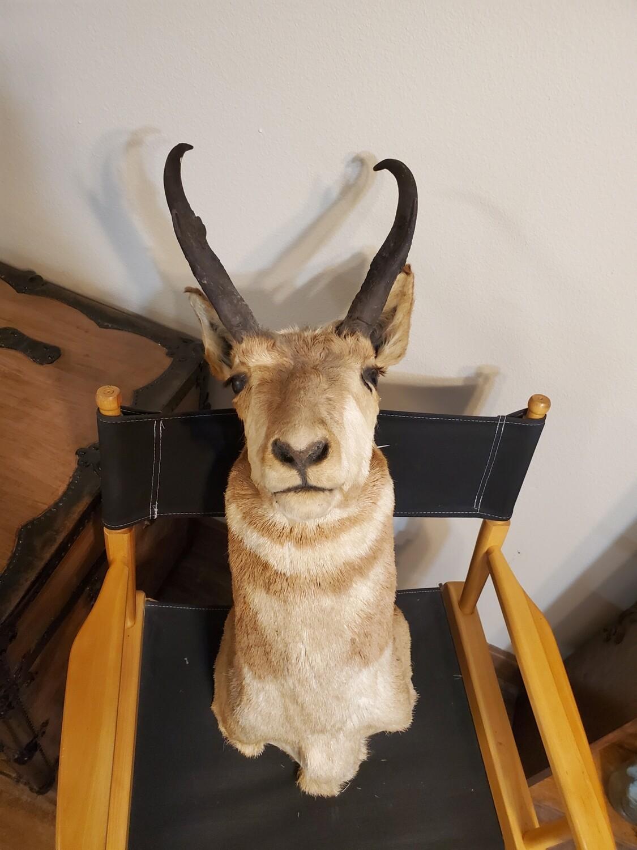 Pronghorn mount