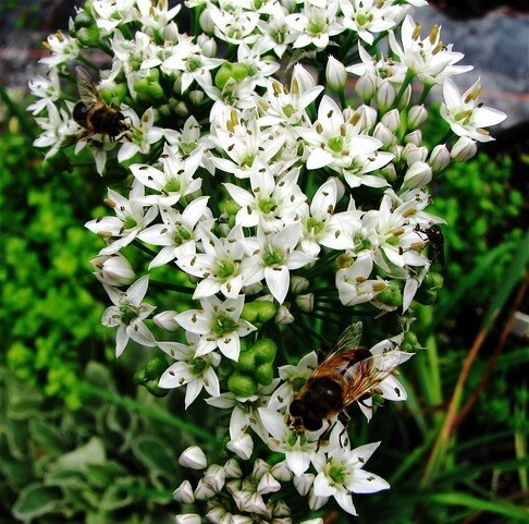 Allium tuberosum 9cm