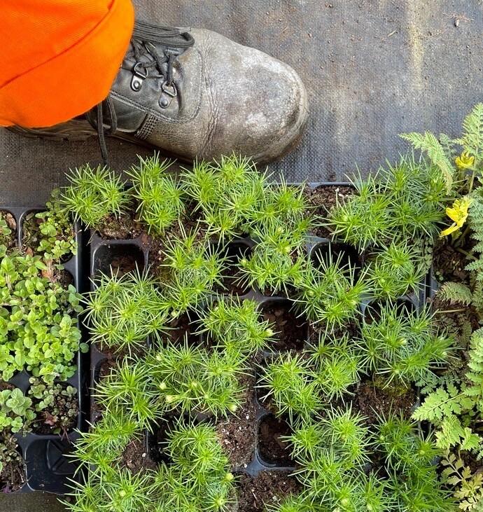 Armeria juniperifolia Bevan's Variety (plug)