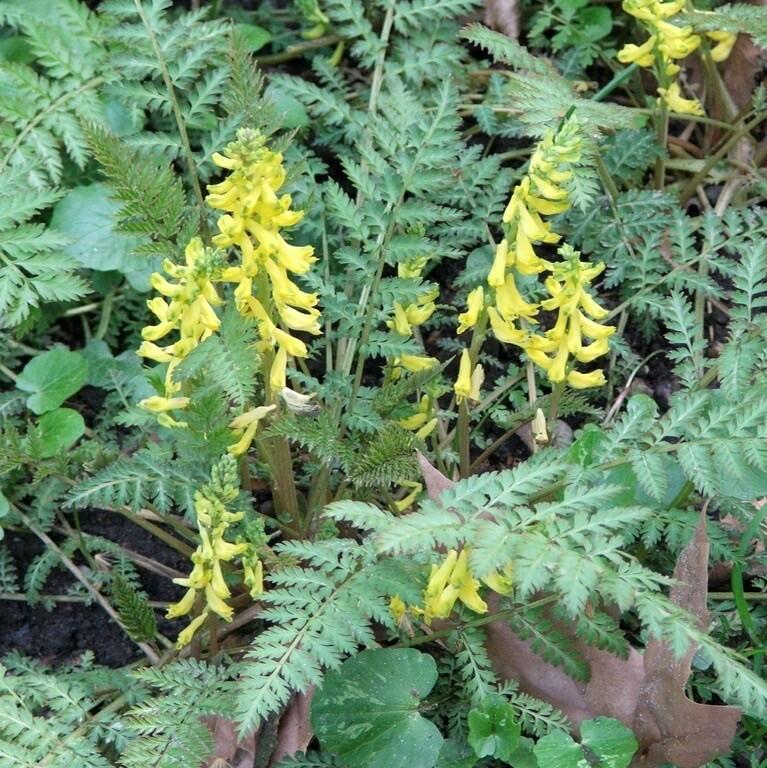 Corydalis cheilanthifolia  (plug)