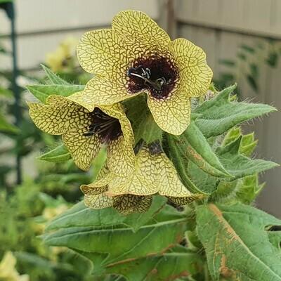 Black Henbane, Hyoscyamus niger Seed