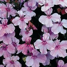 Lobelia- Regatta Lilac- 4 Pack