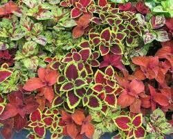 Coleus- Wizard Select Mix- 3