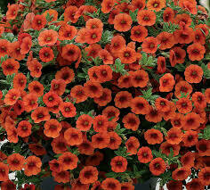 Calibrachoa- Kabloom Orange-10