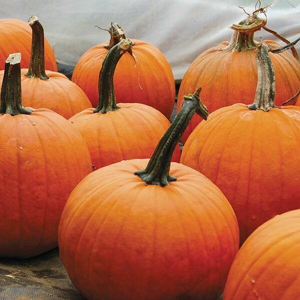 Pumpkin- Cider Jack