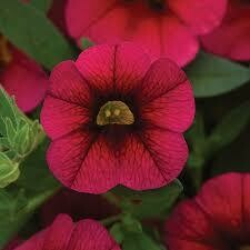 Calibrachoa- Kabloom Cherry- 10