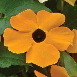 Black Eyed Susan Vine- Susie Orange with Eye- 6