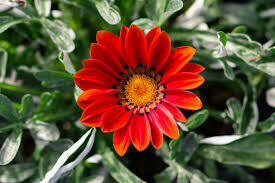 Gazania- New Day Red Shades- 2 Pack