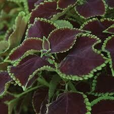 Coleus- Premium Sun Chocolate Mint-3