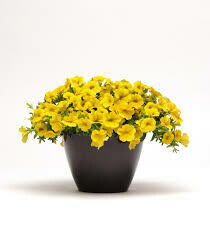 Calibrachoa- Kabloom Yellow- 2 Pack