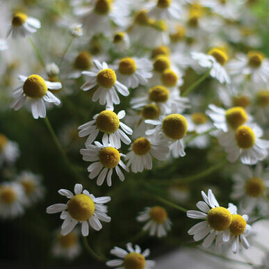 Chamomile- Common