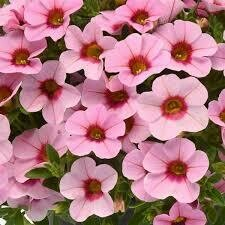 Calibrachoa- Light Pink Blast- 10