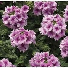 Verbena- Tuscany Orchid Frost- 2 Pack