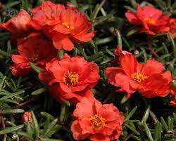 Moss Rose- Sundial Scarlet- 4 Pack