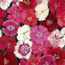 Dianthus- Ideal Select Mix- 3