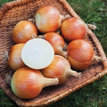 Onion- Yankee F1