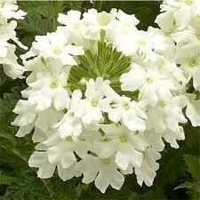 Verbena- Obsession Cascade White- 2 Pack