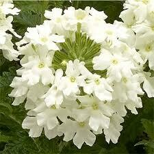 Verbena- Obsession Cascade White- 2 Pack