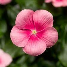 Vinca- Cascade Shell Pink- 4