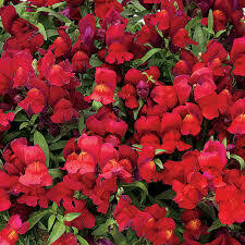 Wave Snapdragons- Candy Showers Red- 10