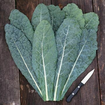Kale- Lacinato